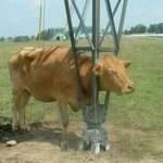 animales atrapados vaca tendido electrico