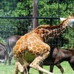 Animales que montan a los animales equivocados