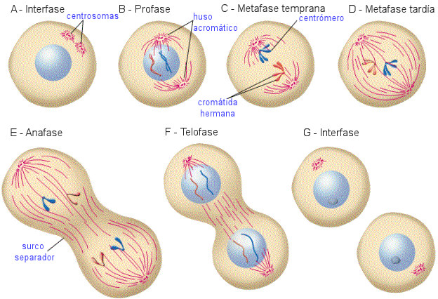 fases mitosis division celular