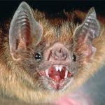 murciegalo-murcielago-vampire-bat