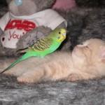 Amor entre periquito y gato