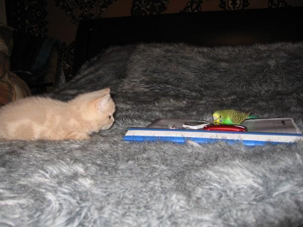 periquito gatito gato amor