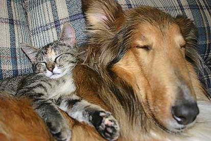 perro gato collie siesta durmiendo