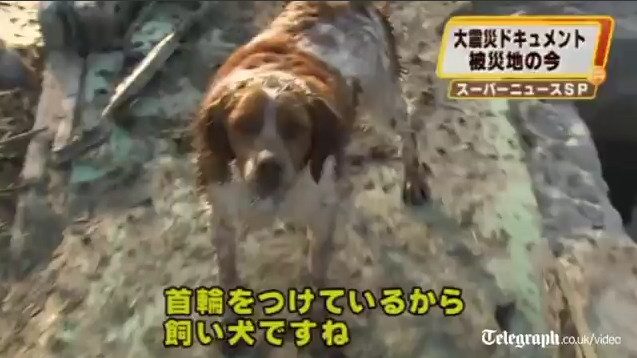 perro terremoto japon 2011 tsunami spaniel