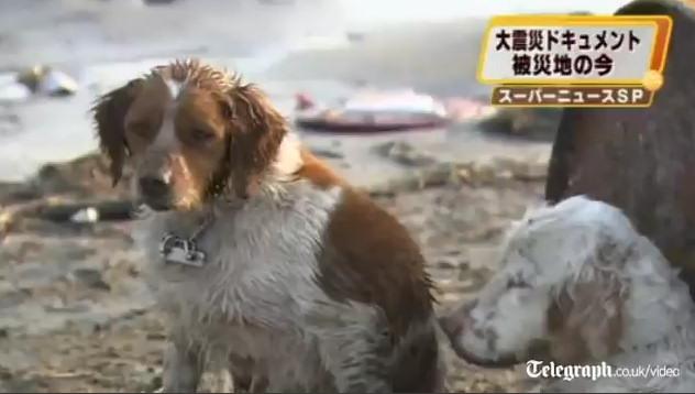 perros terremoto japon 2011 tsunami rescate