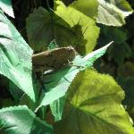 Nuevo visitante en la terraza, el saltamontes Pepito Grillo