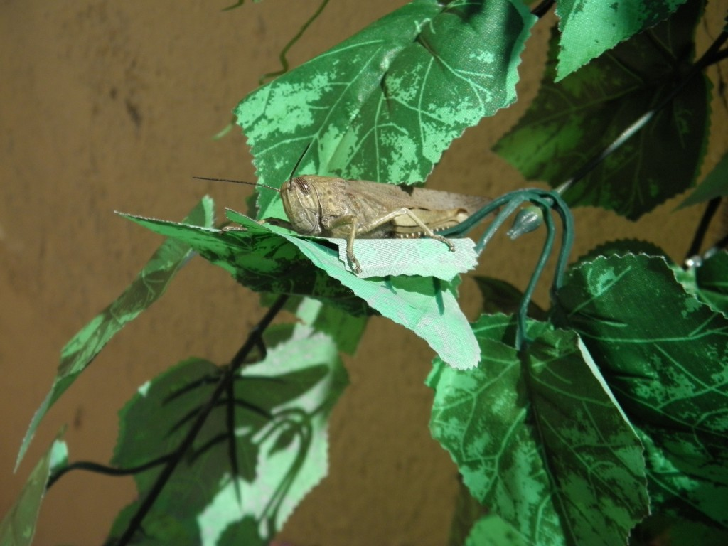 saltamontes-Orthoptera-terraza