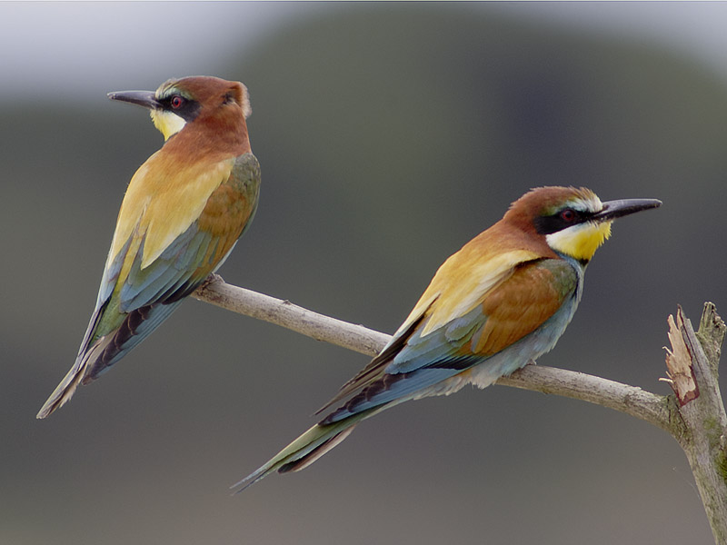 abejaruco comun Merops apiaster
