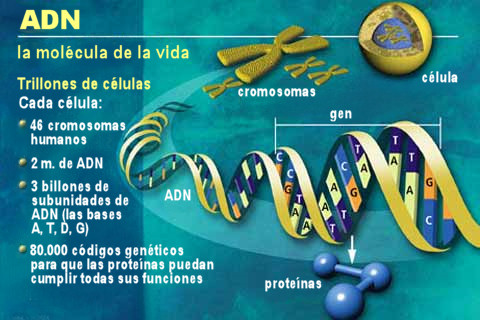 adn esquema genes cromosomas proteinas gen