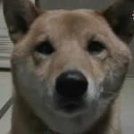 akita inu ladrando perro ladrar video