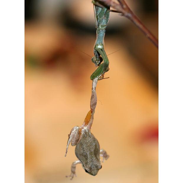 amantis religiosa atrapando rana