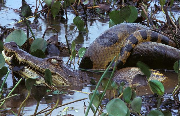 anaconda alligator cocodrilo comiendo