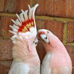 animales bonitos cacatuas inka