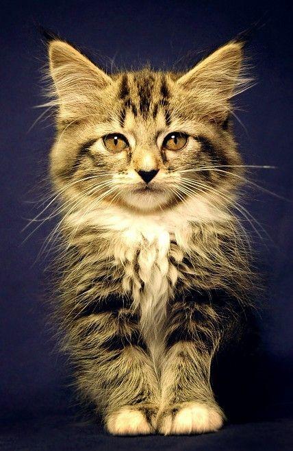 animales-bonitos-gatito