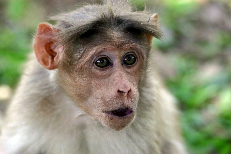 animales-graciosos-bonitos-simios-monos-1