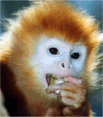 animales-graciosos-bonitos-simios-monos-6