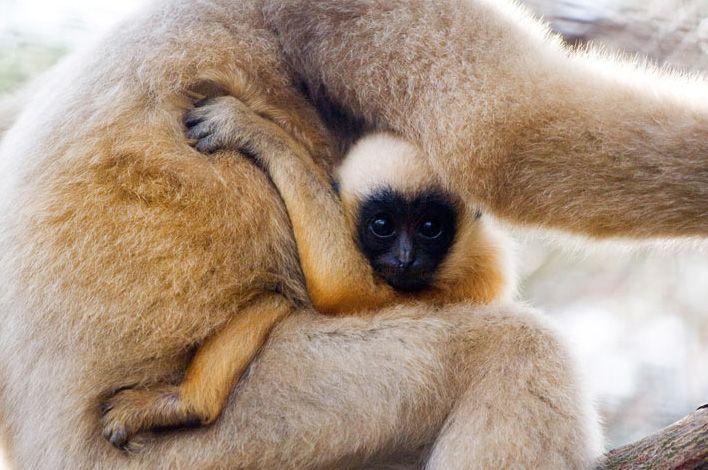animales-graciosos-bonitos-simios-monos-8