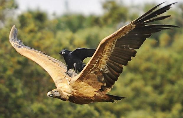 buitre cuervo soria montado