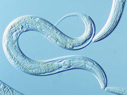 caenorhabditis elegans gusano worm