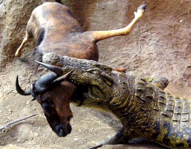 cocodrilo comiendo nu