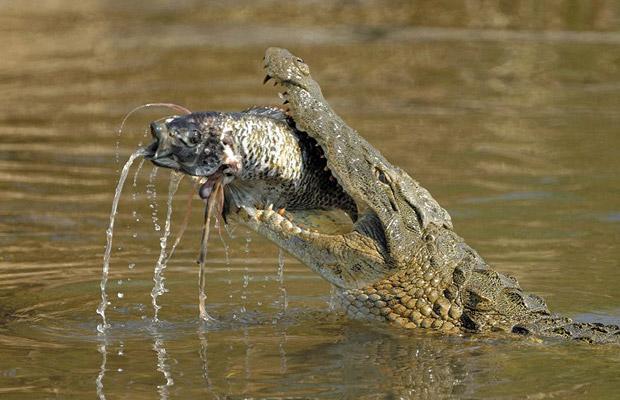 cocodrilo comiendo pez engullendo