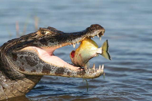 cocodrilo comiendo pez