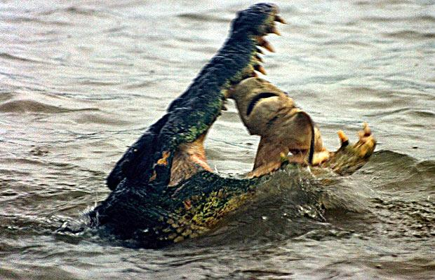 cocodrilo comiendo tiburon