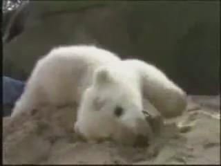 cria osito polar cachorro jugando