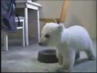 cria oso polar cachorro jugando