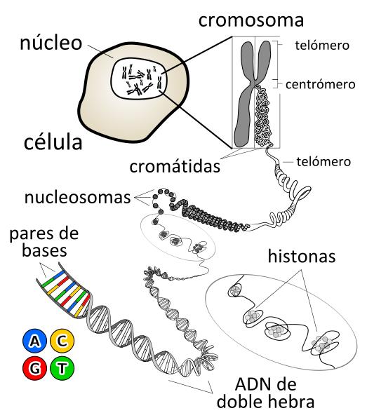 cromosomas esquema celula genes adn pares bases