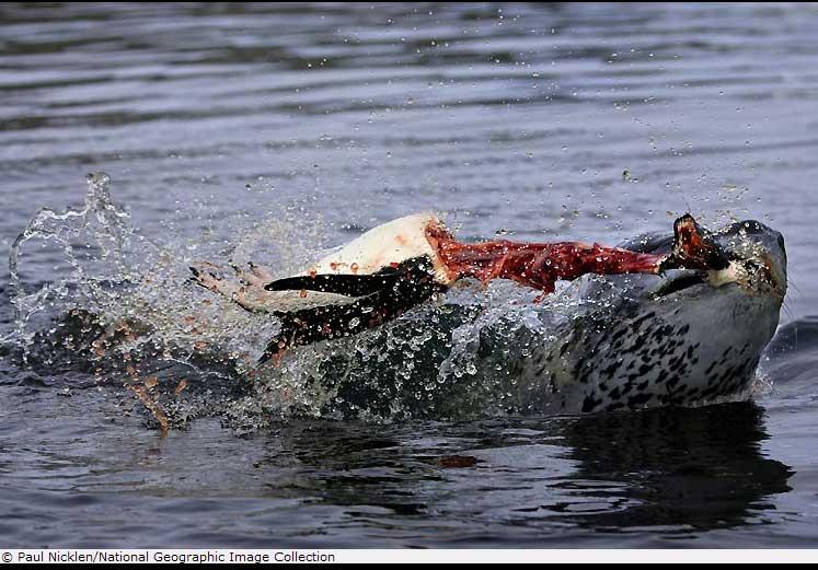 foca comiendo pez