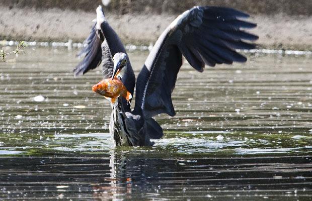garza gris comiendo atrapa pez koi