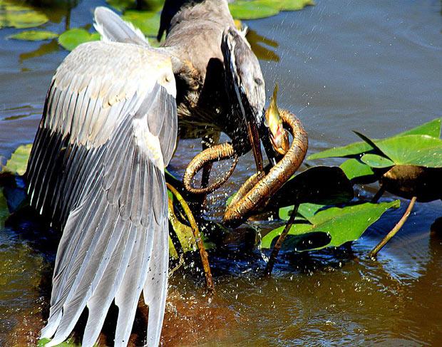 garza heron serpiente marina pez