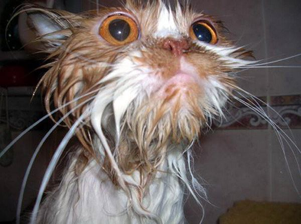 gato agua bano ducha mojado
