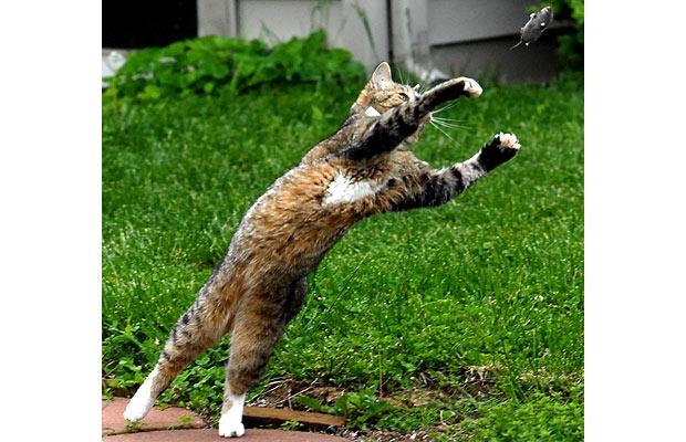 gato topo cazando