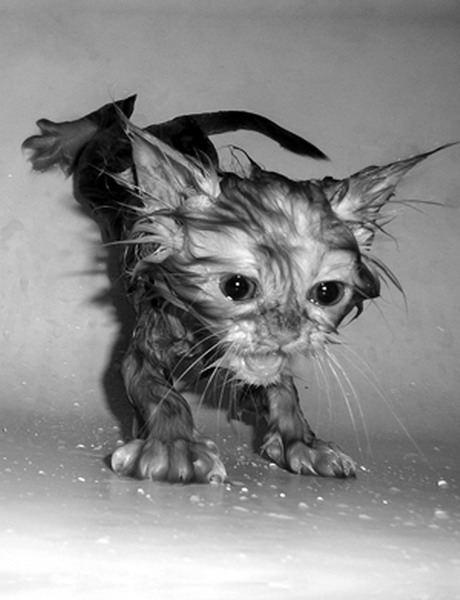 gatos agua banandose mojandose