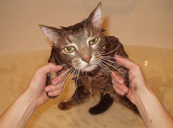 gatos agua bano mojandose