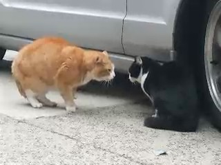 gatos amenazando video pelea