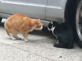 gatos amenazando video pelea
