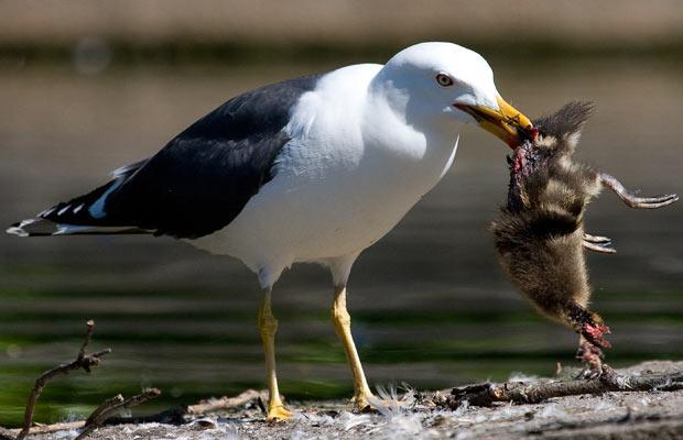 gaviota atrapado comiendo patito