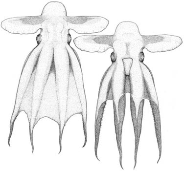 grimpoteuthis challengeri pulpo dumbo
