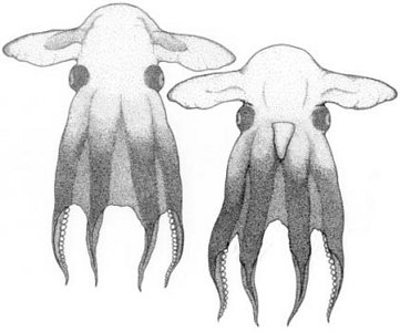 grimpoteuthis discoveryi pulpo dumbo