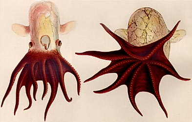 grimpoteuthis hippocrepium pulpo dumbo