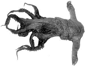 grimpoteuthis innominata pulpo dumbo