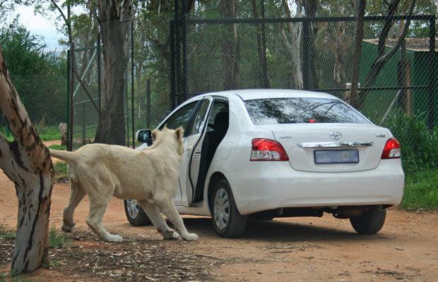 leon abriendo coche
