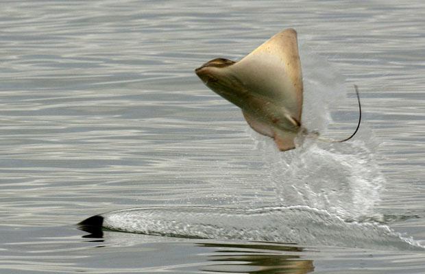 orca persiguiendo raya nueva zelanda