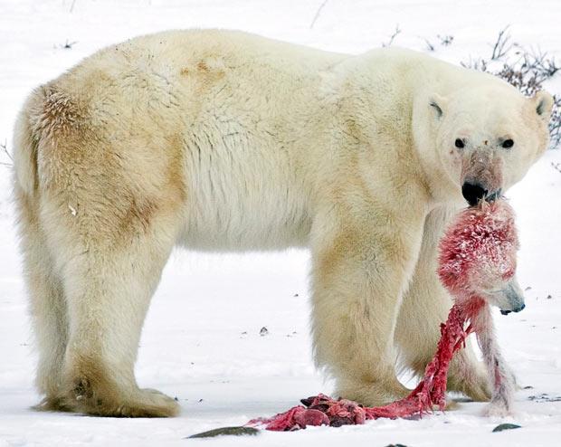 oso polar matado comiendose cria