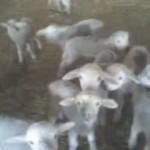 ovejas ovejitas corderos corderitos