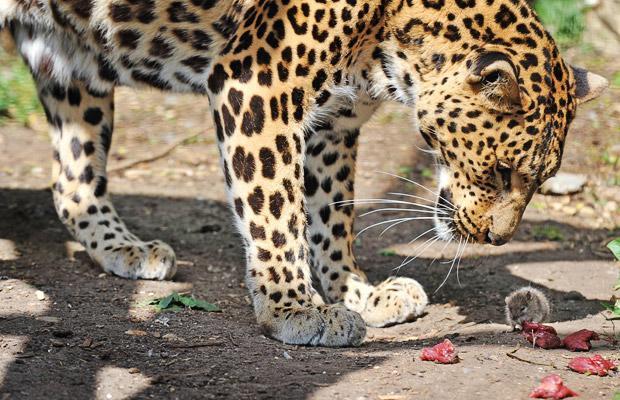 raton leopardo robando comida