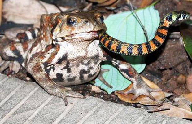 sapo serpiente bungaro krait comiendo